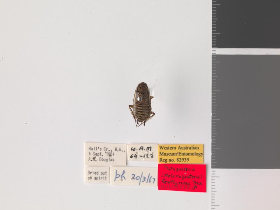 Platyzosteria lentiginosa - Holotype