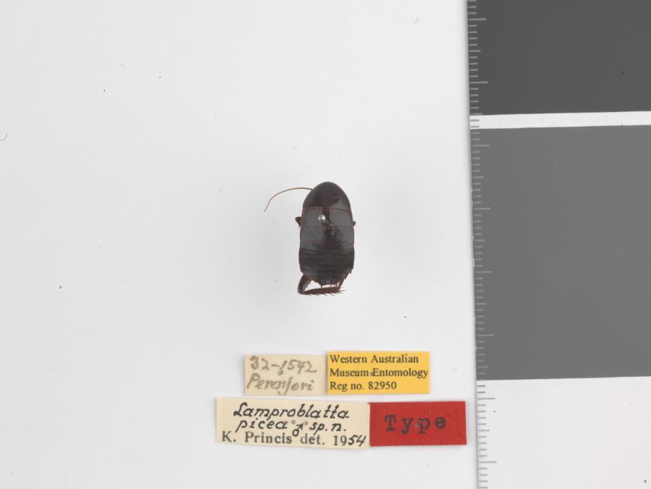 Lamproblatta picea - Holotype