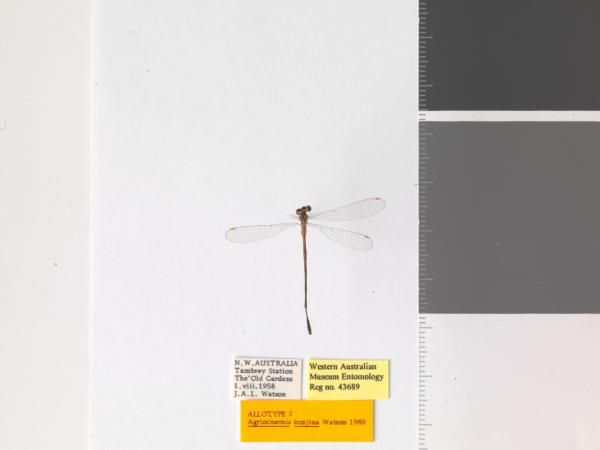 Agriocnemis kunjina - allotype