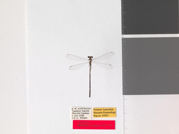 Agriocnemis kunjina - Holotype