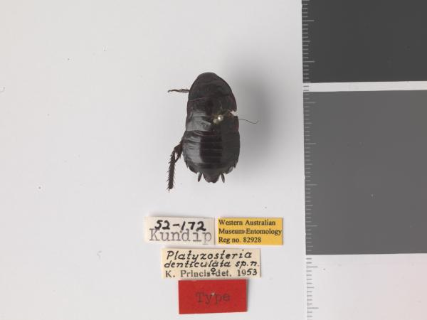 Platyzosteria denticulata - Holotype