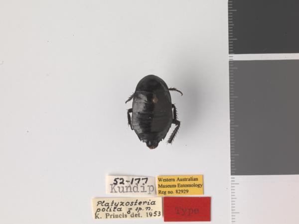 Platyzosteria polita - Holotype