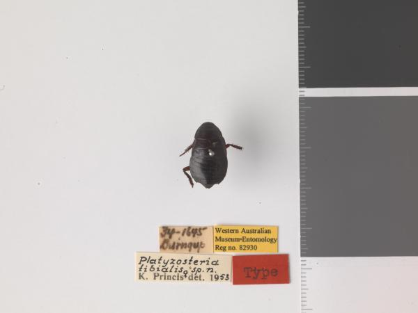 Platyzosteria tibialis - Holotype