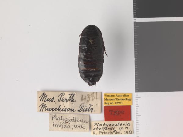 Platyzosteria shelfordi - holotype
