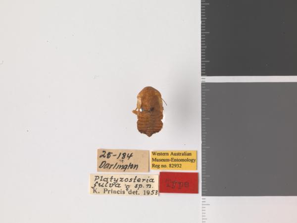 Platyzosteria fulva - Holotype
