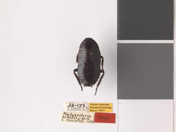 Platyzosteria similis - Holotype