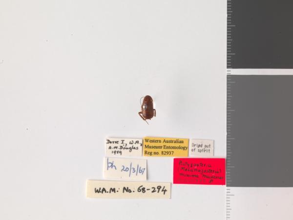 Platyzosteria minima - Holotype