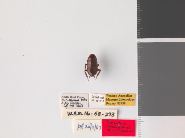 Platyzosteria minor - Holotype