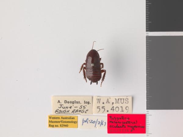 Platyzosteria aculeata - Holotype