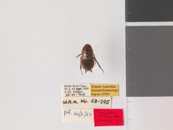 Platyzosteria flavofusca - Holotype