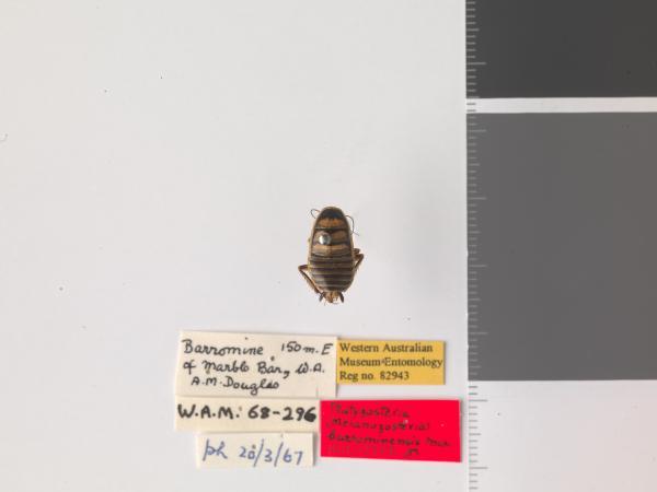 Platyzosteria barrominensis - Holotype