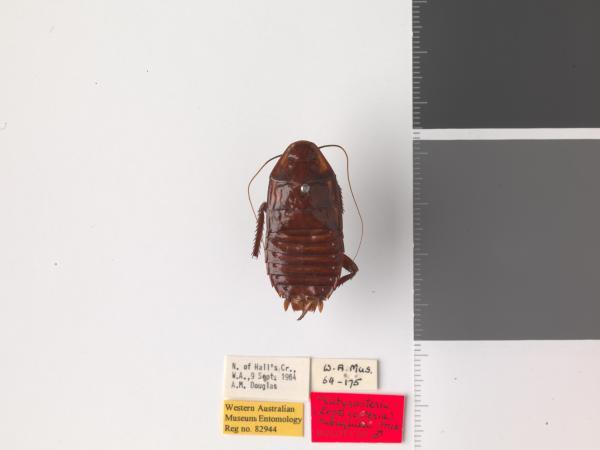 Platyzosteria subaquila