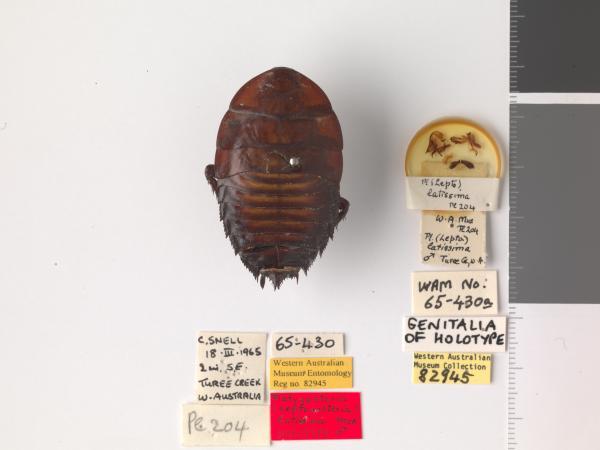 Platyzosteria latissima - Holotype