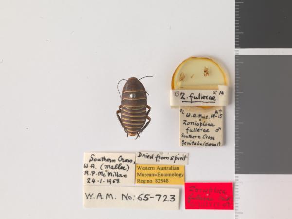 Zonioploca fullerae - Holotype