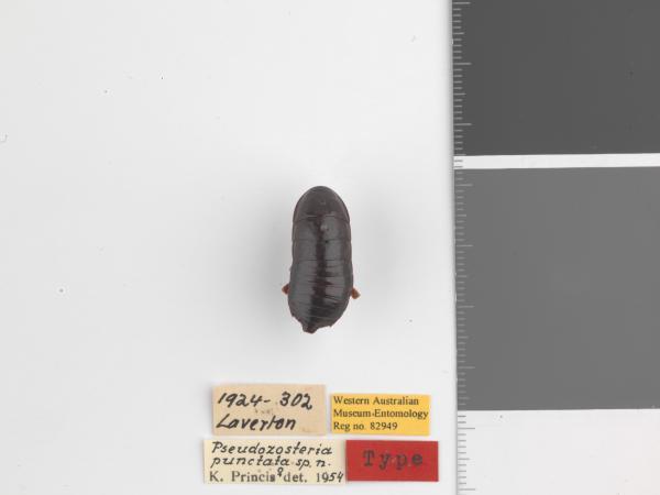 Pseudozosteria punctata - Holotype