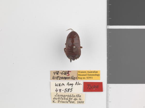 Lamproblatta sublobata - Holotype