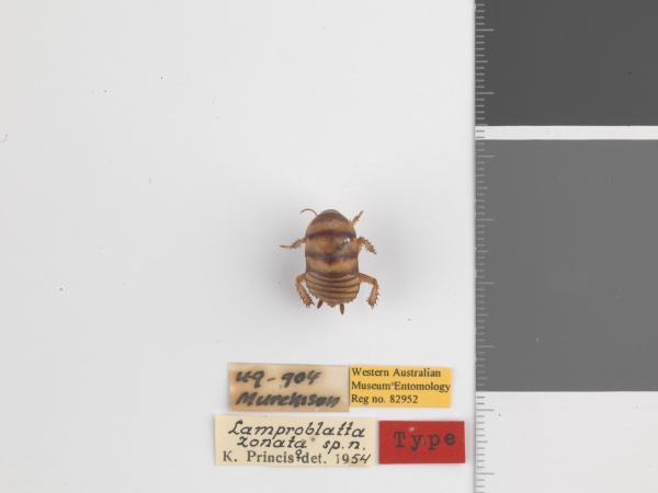 Lamproblatta zonata - Holotype