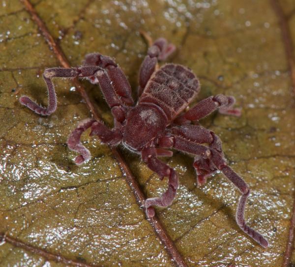 A cryptocellus iaci (ricinulei)