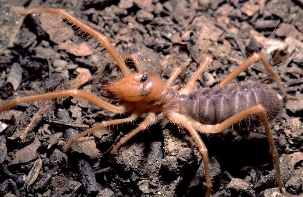 A Gluvia dorsalis (solifugae)
