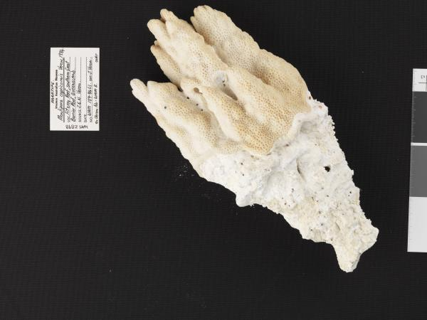 Montipora capricornis (Vernon 1984)