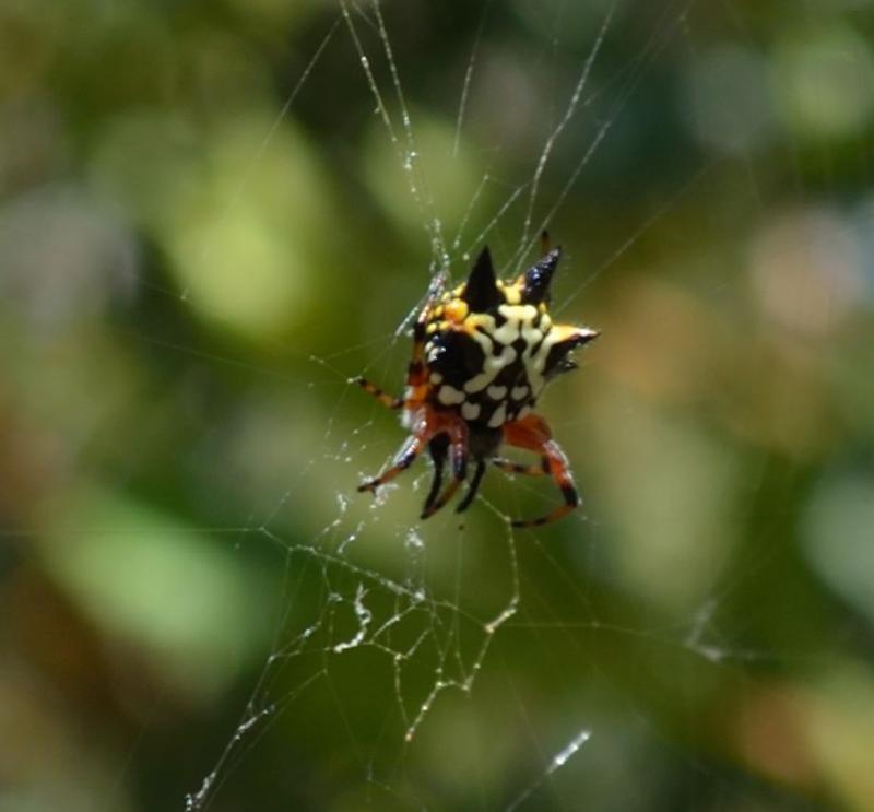 Christmas spider ...   Community