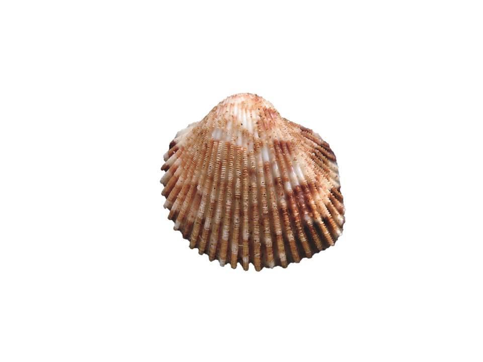 Image of <i>Ctenocardia pilbaraensis</i>