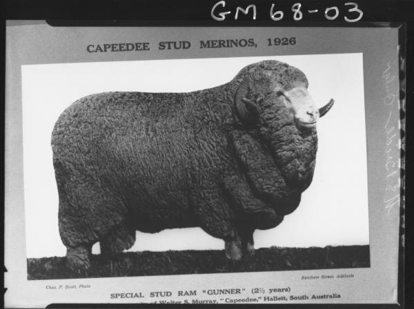 CAPEEDEE STUD MERINO SHEEP, MCBRIDE