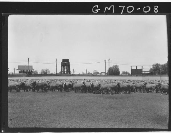 SHEEP ON OVAL, CO-OP BUTCHERS, BOULDER, GILBERT