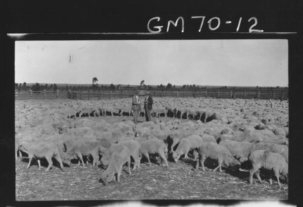 SHEEP IN PADDOCK, LUKIN