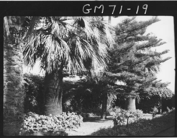 Palm Trees at Hannans Club, Brookman Street, Kalgoorlie