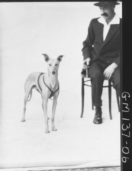 Greyhound dog. Brown, champion Whippet 'Attaboy' owned by Charles Brown