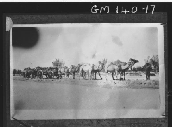 Camel team and wagons copy, 'Momhand'