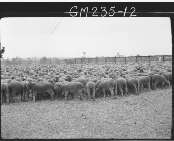 Sheep in paddock 'Manifold'