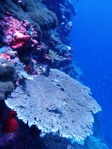 Image of <i>Acropora clathrata</i>