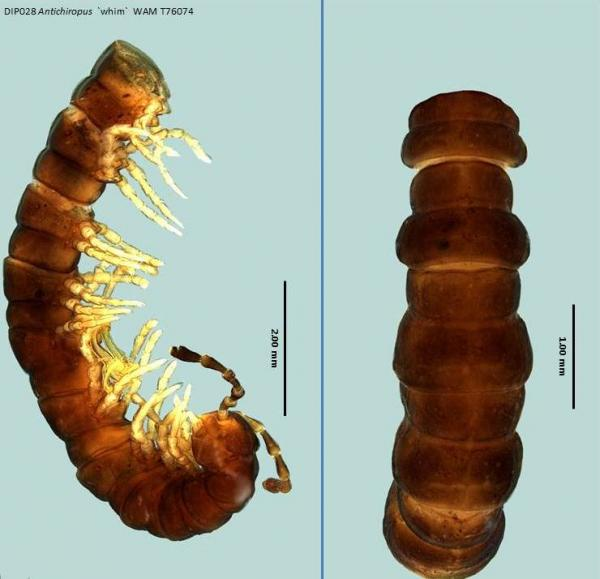 Millipede dorsal and lateral view