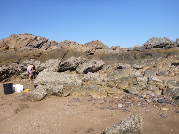 Image of <i>Saccostrea</i> band in the intertidal