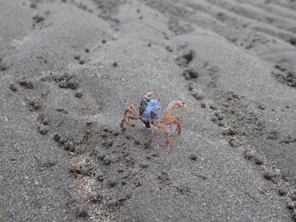 Image of soldier crab