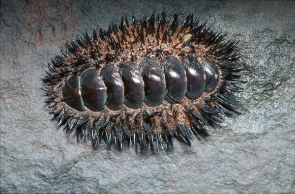 Image of <i>Acanthopleura spinosa</i>