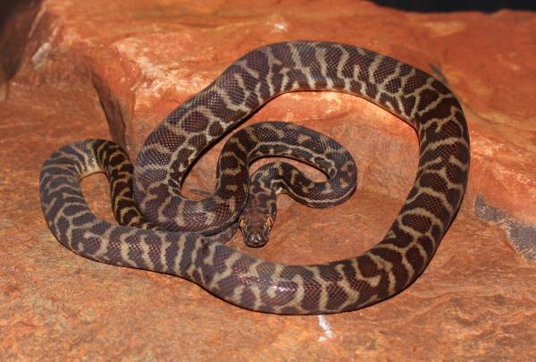 live snake