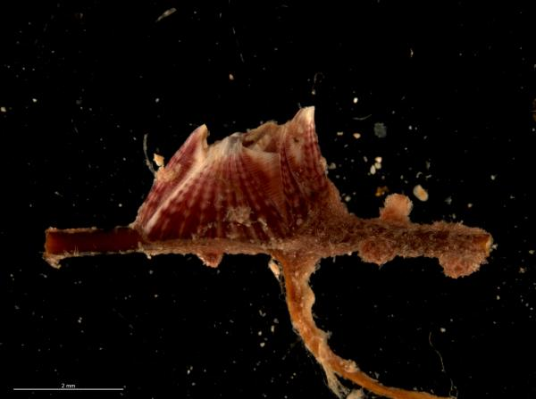 Photo of <i>Amphibalanus poecilotheca</i> attached to a branch of a gorgonian coral, collected from the Montebello Islands.