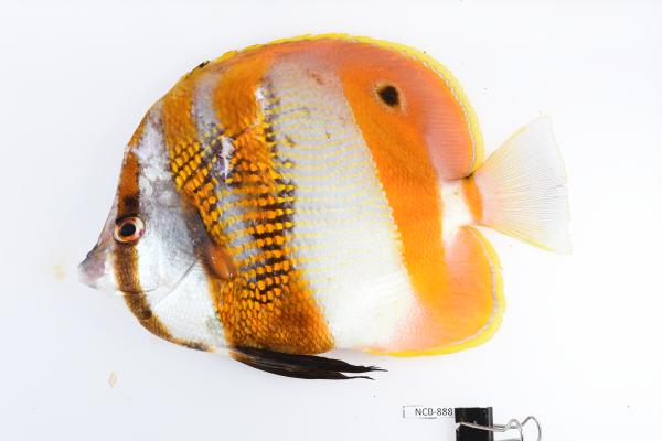 Photo of an Orangebanded Coralfish collected from Delambre Island in the Dampier Archipelago live specimen