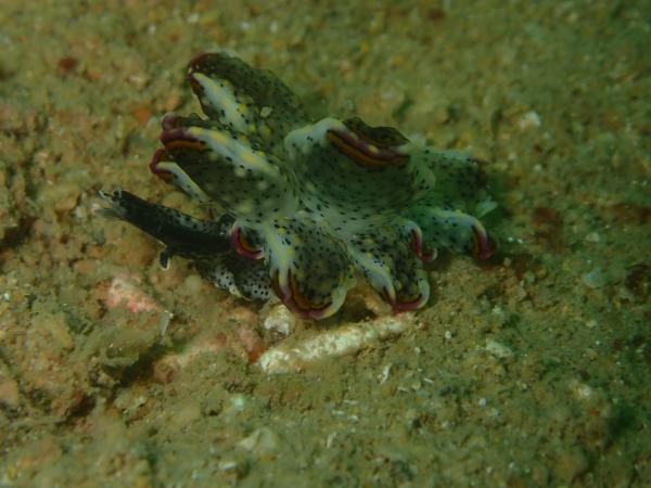 Image of <i>Cyerce kikutarobabai</i> from the Dampier Archipelago, WA