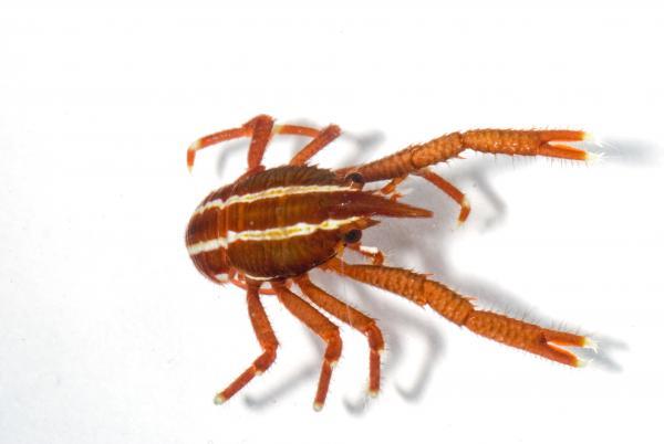 Photo of <i>Allogalathea elegans</i>