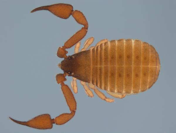 Pseudoscorpion dorsal view