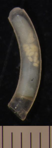 Image of <i>Caecum</i> cf. <i>folini</i> from Montebello Islands, WA
