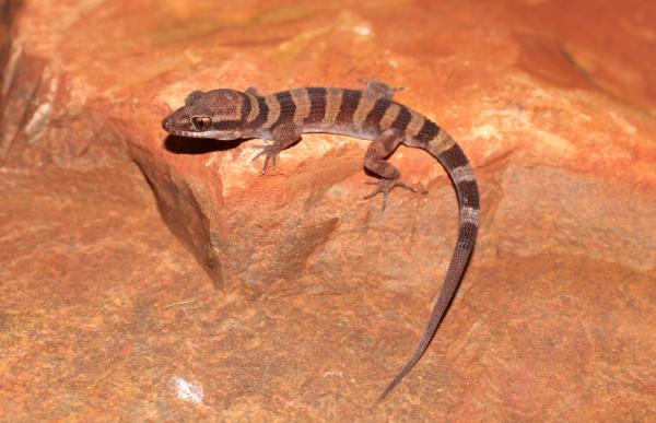 live gecko