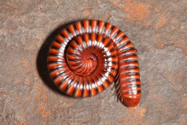 millipede photo