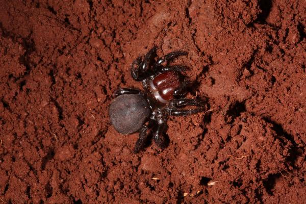 live spider