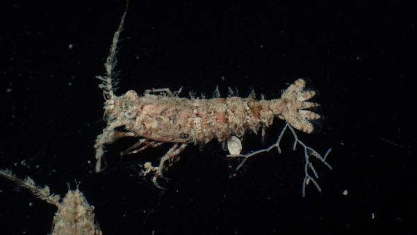 Photo of <i>Sicyonia ocellata</i> collected by dredge in the Dampier Archipelago