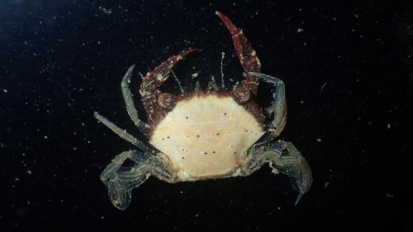 Photo of an adult male <i>Charybdis natator</i> collected from the Dampier Archipelago